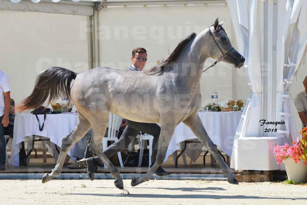 Championnat de FRANCE de chevaux Arabes à Pompadour en 2018 - SANIA DU CAYRON - Notre Sélection - 03