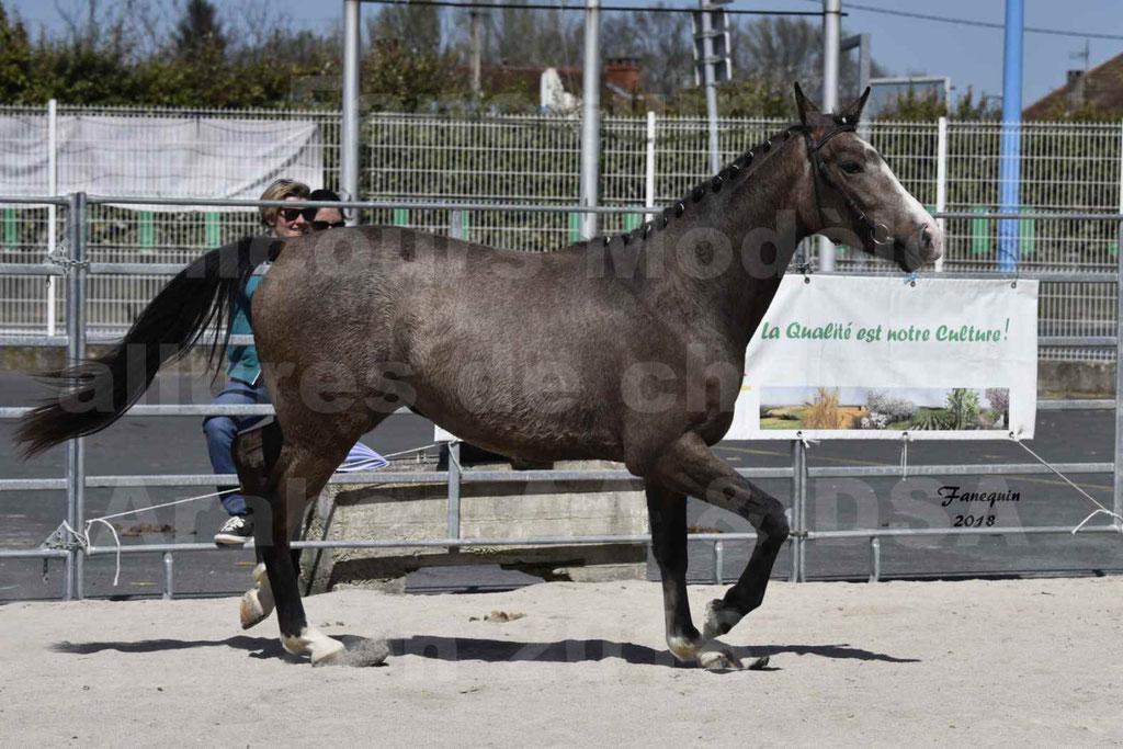 Concours d'élevage de Chevaux Arabes - Demi Sang Arabes - Anglo Arabes - ALBI les 6 & 7 Avril 2018 - GOLD OF MARTRETTES - Notre Sélection - 02