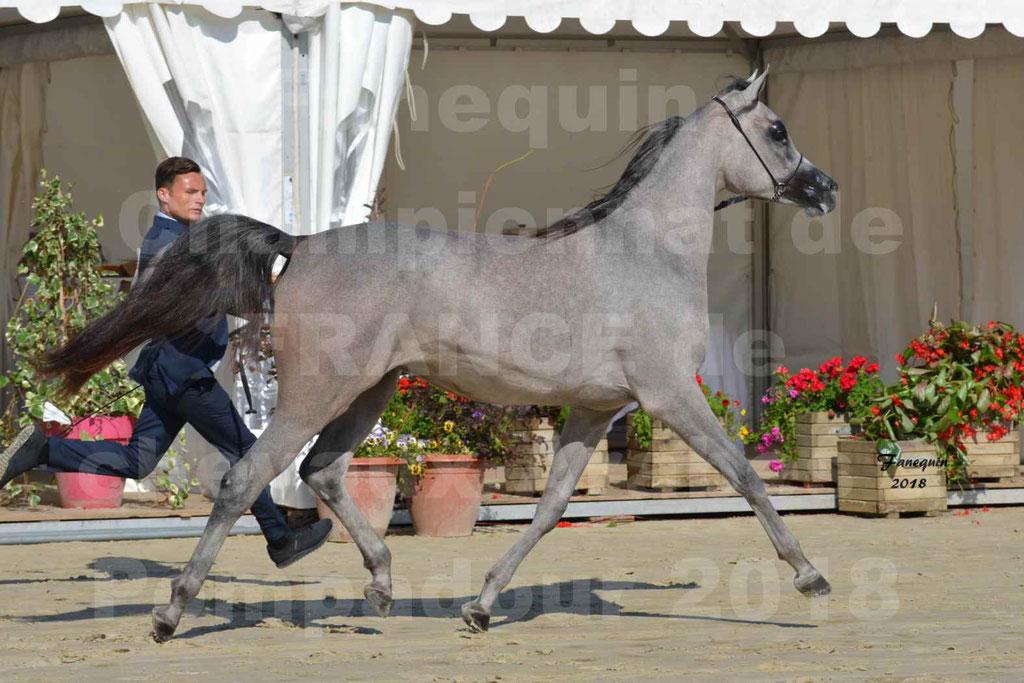 Championnat de FRANCE de chevaux Arabes à Pompadour en 2018 - SANIA DU CAYRON - Notre Sélection - 43