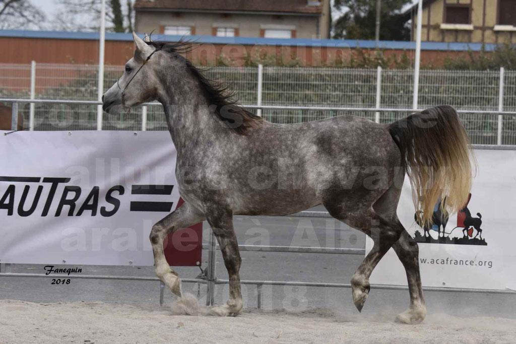 Concours d'élevage de Chevaux Arabes - Demi Sang Arabes - Anglo Arabes - ALBI les 6 & 7 Avril 2018 - PERCEVAL DE LAFON - Notre Sélection - 09