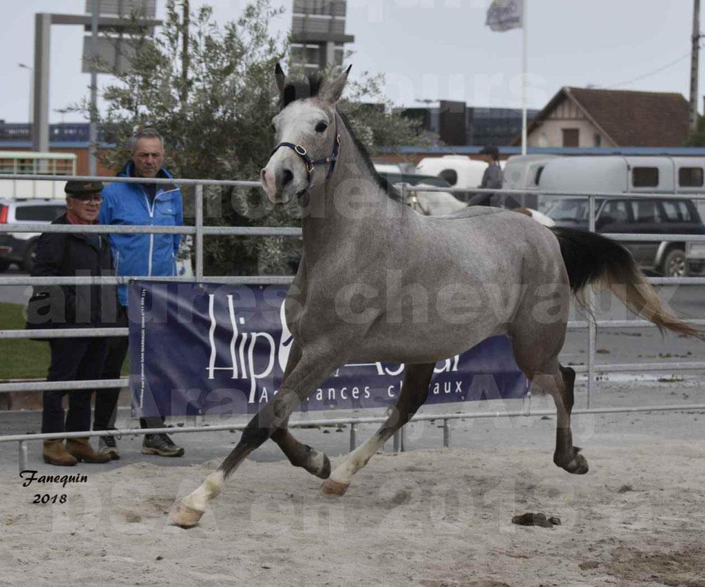 Concours d'élevage de Chevaux Arabes - Demi Sang Arabes - Anglo Arabes - ALBI les 6 & 7 Avril 2018 - FESIHAMKA ARTAGNAN - Notre Sélection - 20