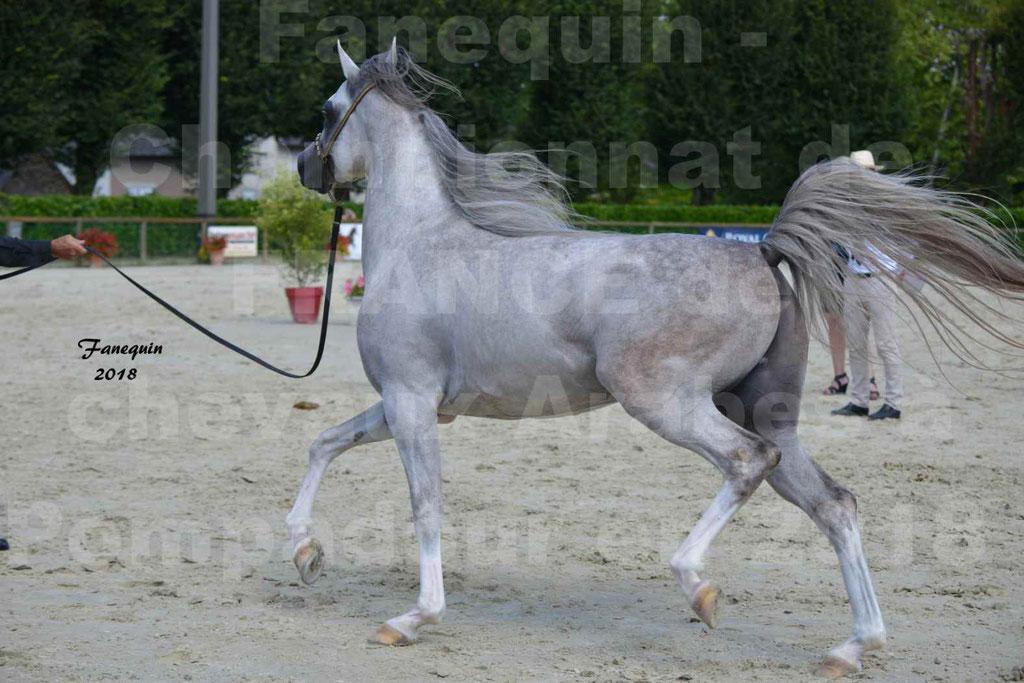 Championnat de FRANCE de chevaux Arabes à Pompadour en 2018 - SH CHAGALL - Notre Sélection - 10