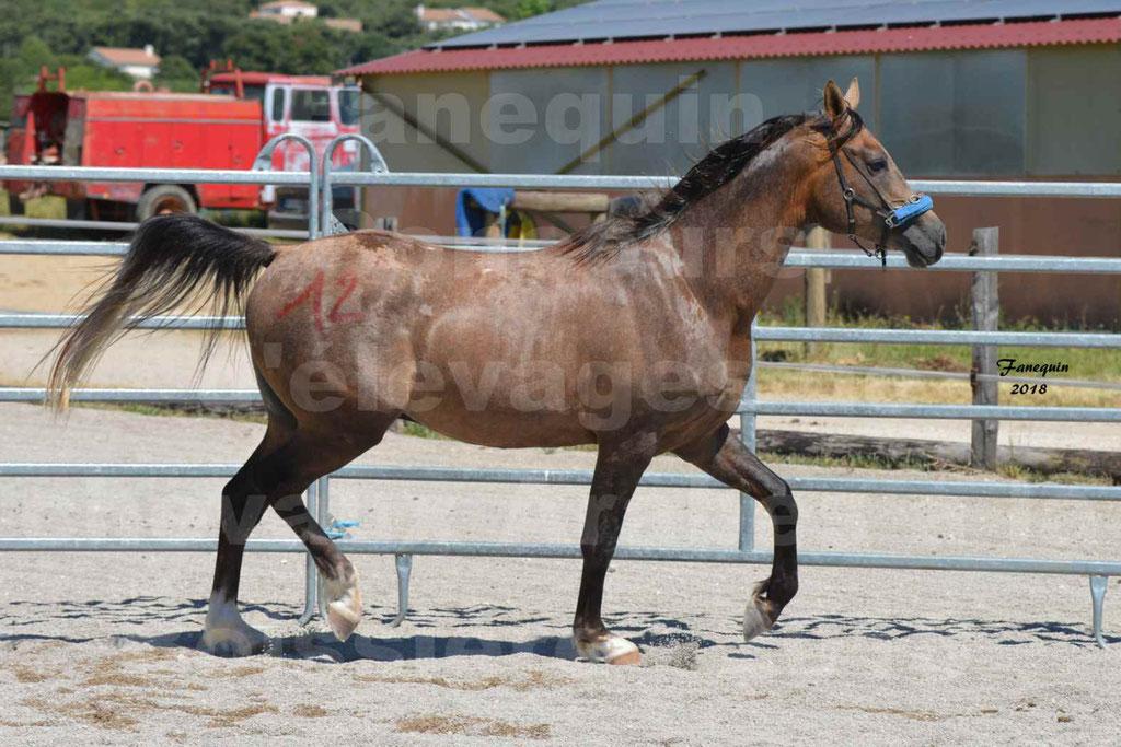 Concours d'Elevage de chevaux Arabes  le 27 juin 2018 à la BOISSIERE - MAREK LOTOIS - 12