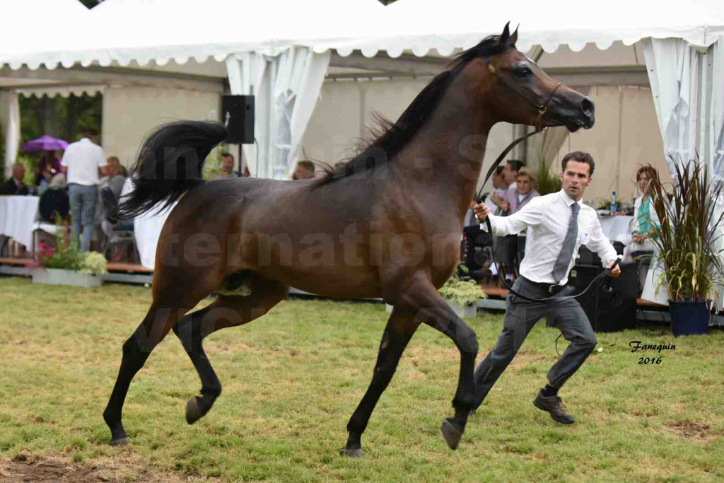 International Arabian Horse Show B de VICHY 2016 - MILLIAR - Notre Sélection - 25