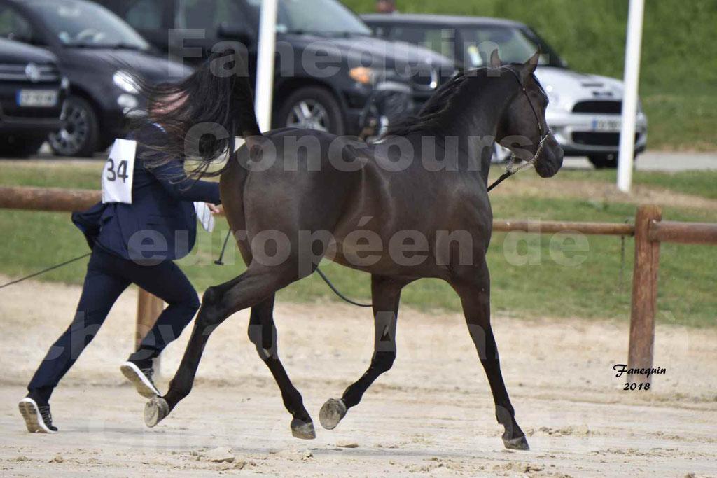 Concours Européen de chevaux Arabes à Chazey sur Ain 2018 - SDL MAGIC NIGHT STONE - Notre Sélection - 11