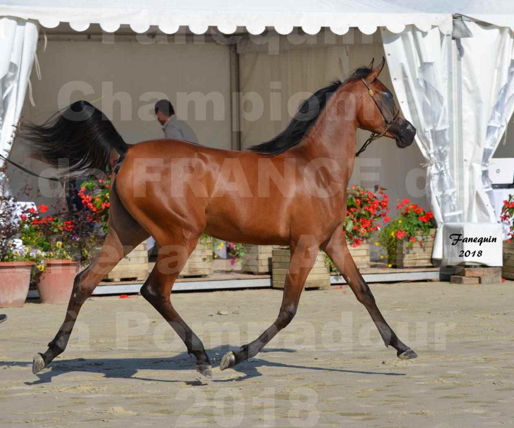 Championnat de FRANCE de chevaux Arabes à Pompadour en 2018 - BO AS ALEXANDRA - Notre Sélection - 39