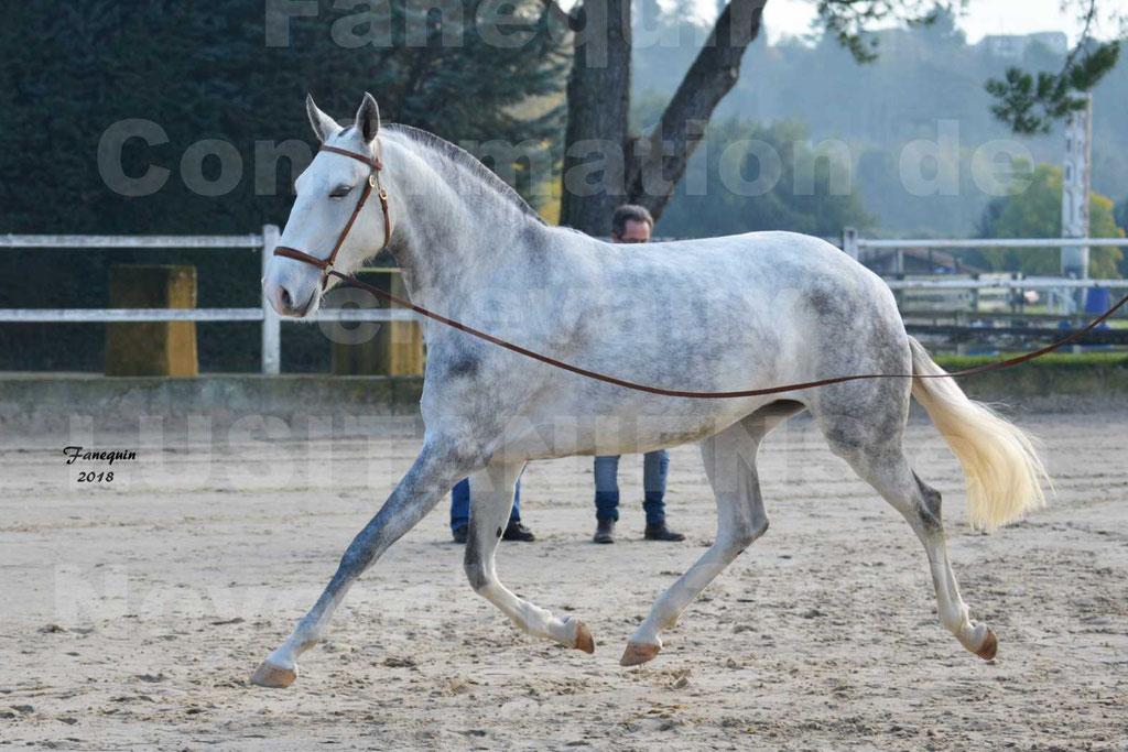 Confirmation de chevaux LUSITANIENS aux Haras d'UZES Novembre 2018 - LUTECE DU CASTEL - 16