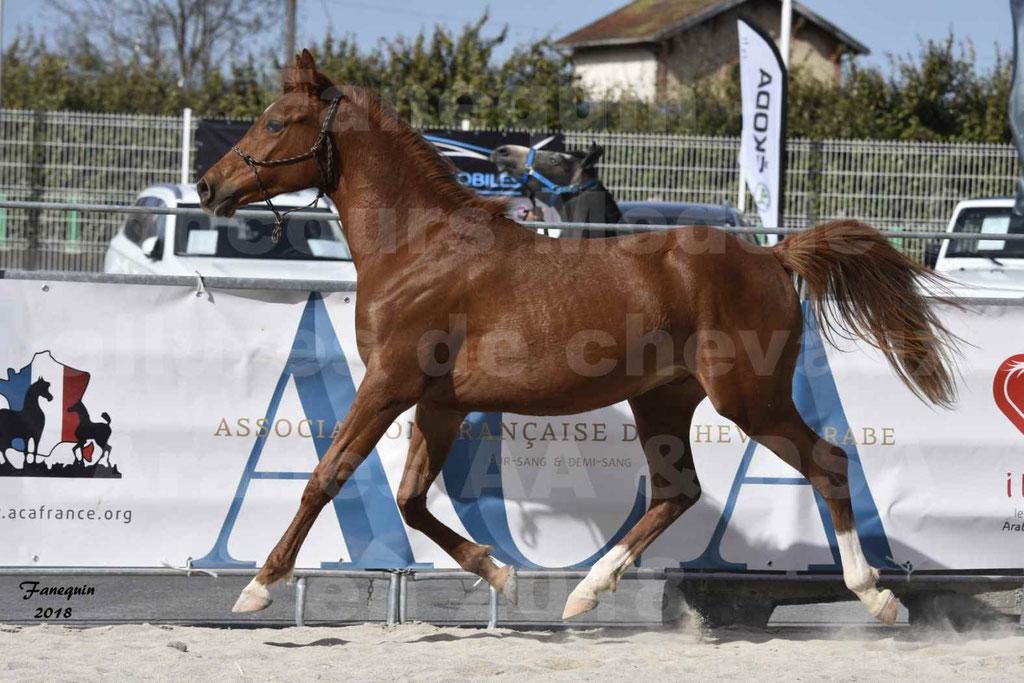 Concours d'élevage de Chevaux Arabes - Demi Sang Arabes - Anglo Arabes - ALBI les 6 & 7 Avril 2018 - GRIOU DU GRIOU - Notre Sélection - 10