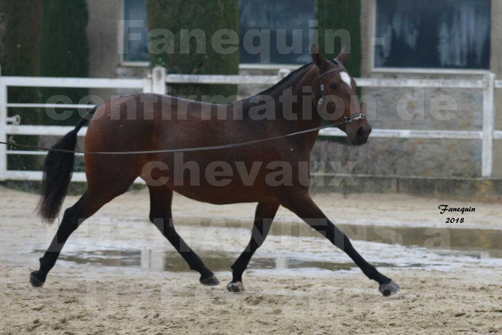 Confirmation de chevaux LUSITANIENS aux Haras d'UZES Novembre 2018 - LISBOA DU BOUSQUET - 1