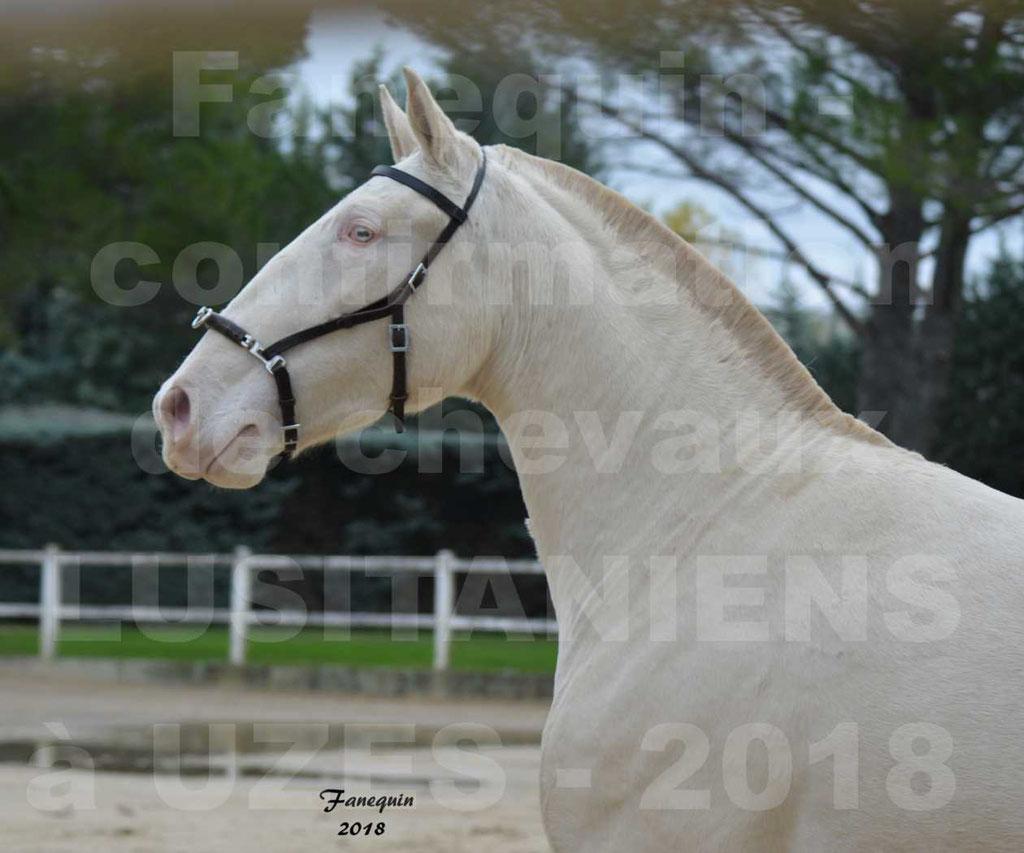 Confirmation de chevaux LUSITANIENS aux Haras d'UZES Novembre 2018 - LOLIBLOU - Portraits - 2