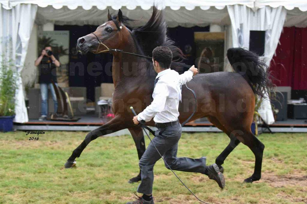 International Arabian Horse Show B de VICHY 2016 - MILLIAR - Notre Sélection - 33