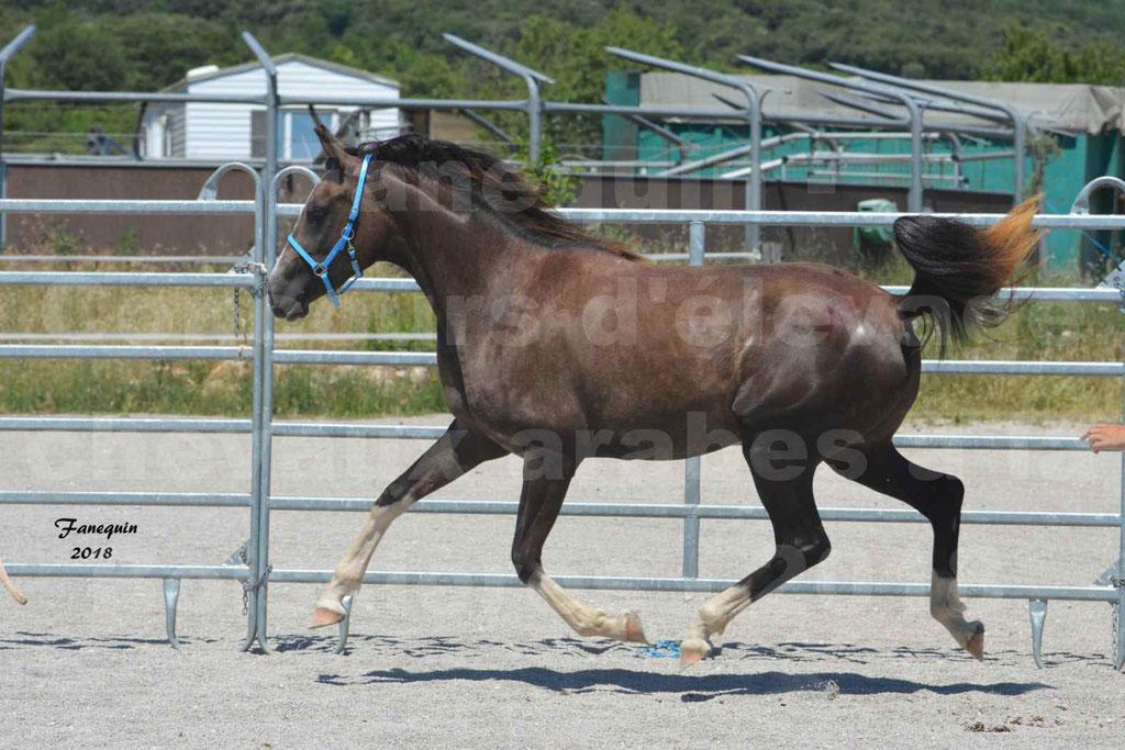 Concours d'Elevage de chevaux Arabes  le 27 juin 2018 à la BOISSIERE - GALICIA D'ALAUZE - 16