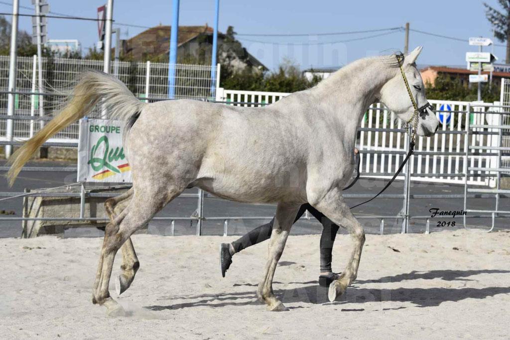 Concours d'élevage de Chevaux Arabes - Demi Sang Arabes - Anglo Arabes - ALBI les 6 & 7 Avril 2018 - NAÏM DE L'OLIVIER - Notre Sélection - 13