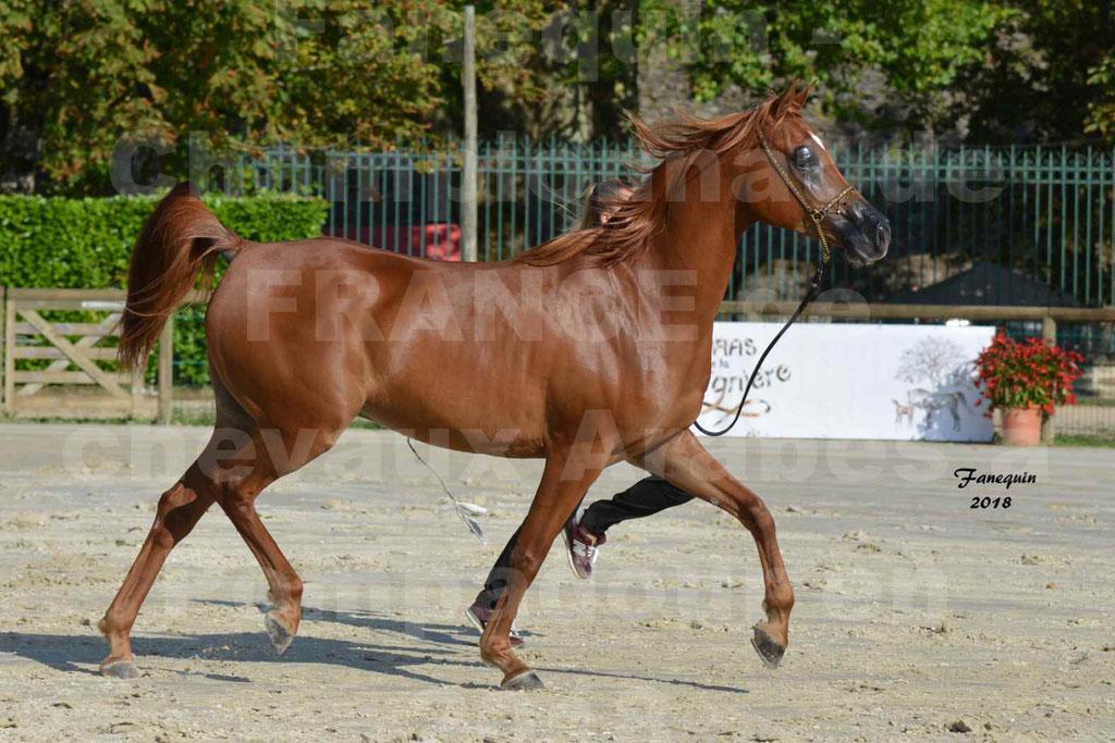 Championnat de FRANCE de chevaux Arabes à Pompadour 2018 - MAAMAR ISHANE - Notre Sélection - 16