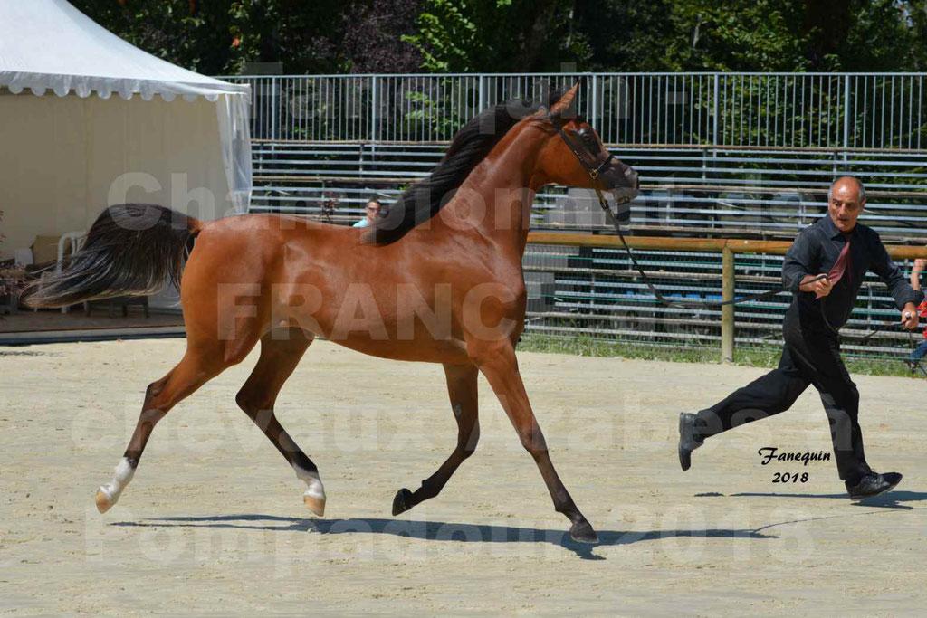 Championnat de FRANCE des chevaux Arabes à Pompadour en 2018 - SH CHARISMA - Notre Sélection - 19