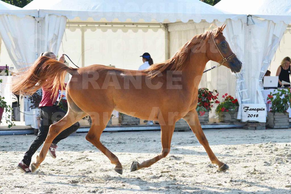 Championnat de FRANCE de chevaux Arabes à Pompadour 2018 - MAAMAR ISHANE - Notre Sélection - 06