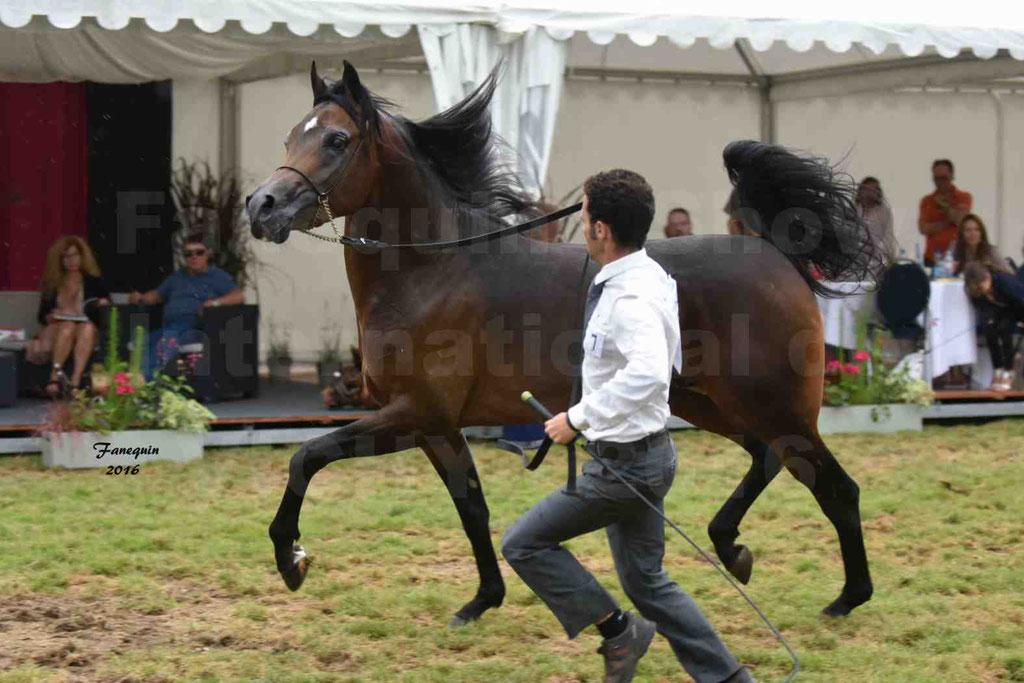 International Arabian Horse Show B de VICHY 2016 - MILLIAR - Notre Sélection - 31