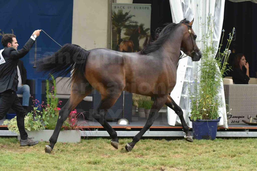 International Arabian Horse Show B de VICHY 2016 - MILLIAR - Notre Sélection - 09