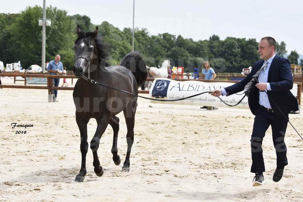 Concours Européen de chevaux Arabes à Chazey sur Ain 2018 - SDL MAGIC NIGHT STONE - Notre Sélection - 04