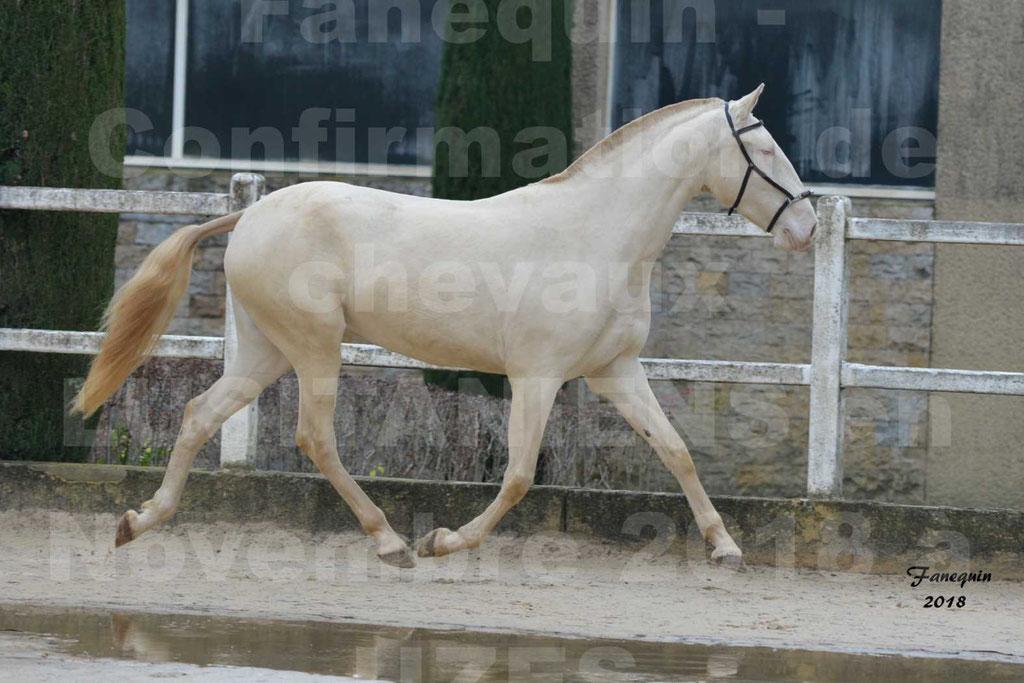 Confirmation de chevaux LUSITANIENS aux Haras d'UZES Novembre 2018 - LOLIBLOU - 34