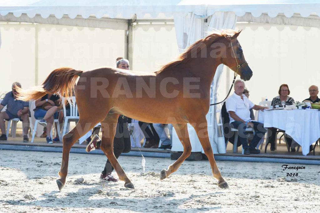 Championnat de FRANCE de chevaux Arabes à Pompadour 2018 - MAAMAR ISHANE - Notre Sélection - 19
