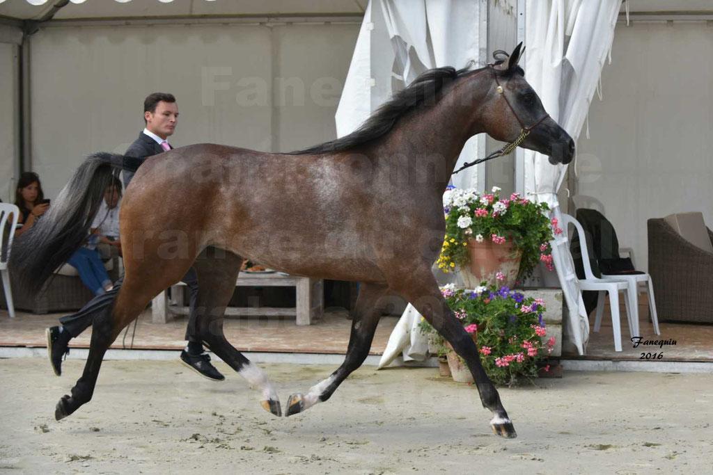 Championnat de France de chevaux Arabes 2016 à Pompadour - AÏNHOA MA PTIT FOLIE - 06