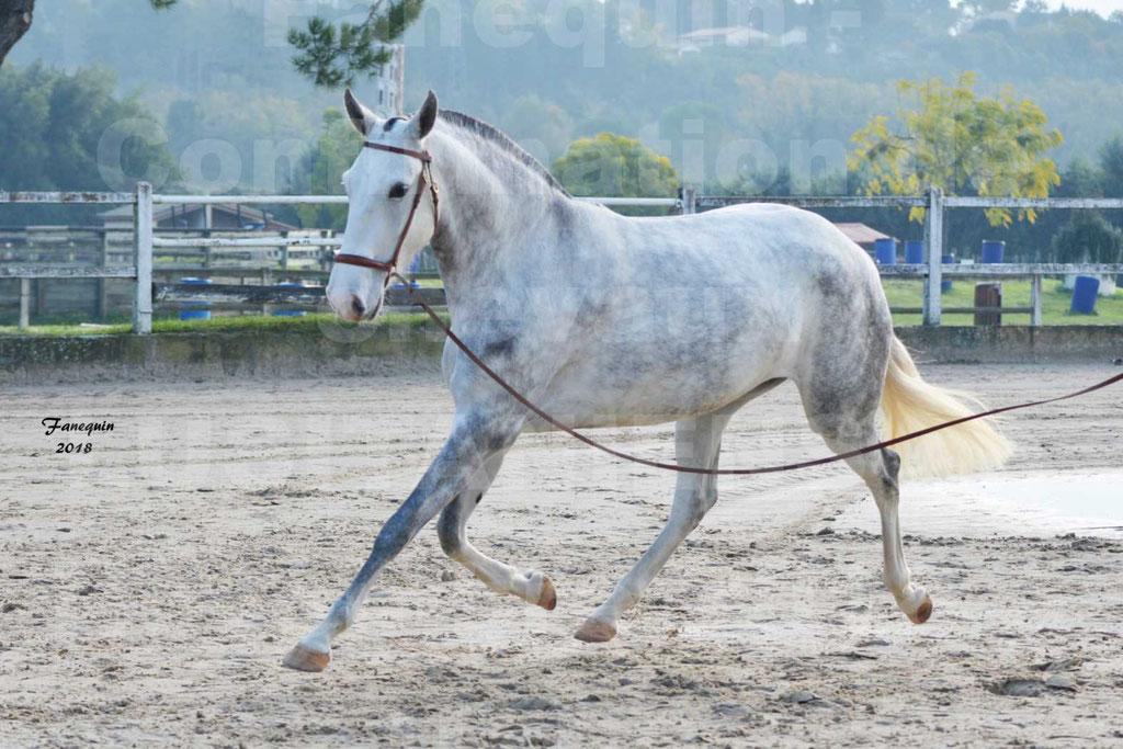 Confirmation de chevaux LUSITANIENS aux Haras d'UZES Novembre 2018 - LUTECE DU CASTEL - 11