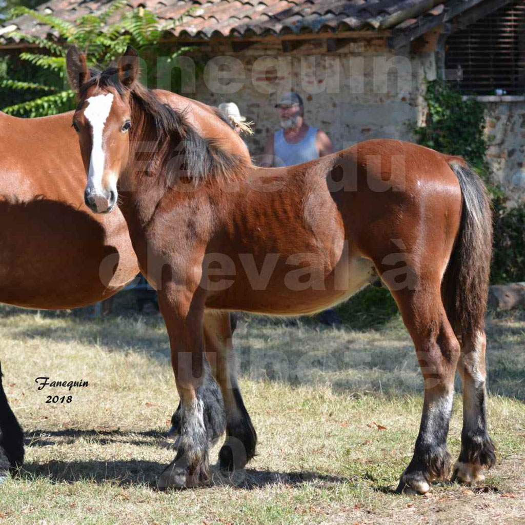 Fête du cheval à GRAULHET le 16 septembre 2018 - Concours Départemental de chevaux de traits - 5
