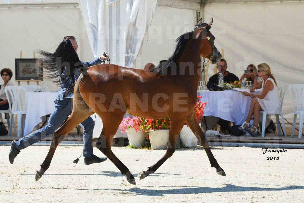 Championnat de FRANCE de chevaux Arabes à Pompadour en 2018 - BO AS ALEXANDRA - Notre Sélection - 01