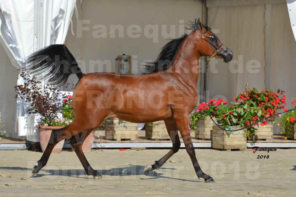 Championnat de FRANCE de chevaux Arabes à Pompadour en 2018 - BO AS ALEXANDRA - Notre Sélection - 30