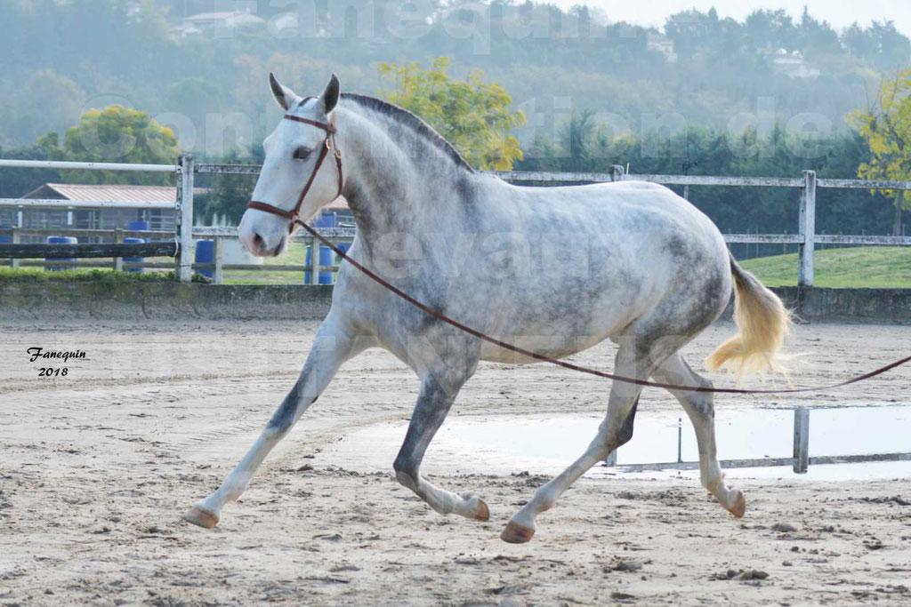 Confirmation de chevaux LUSITANIENS aux Haras d'UZES Novembre 2018 - LUTECE DU CASTEL - 10