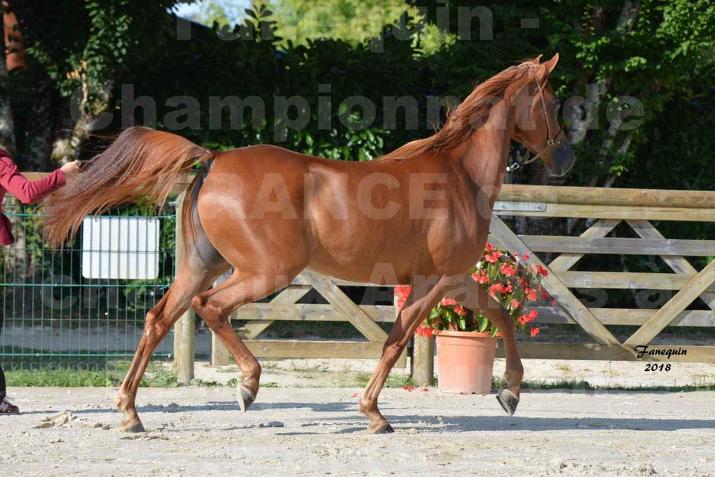 Championnat de FRANCE de chevaux Arabes à Pompadour 2018 - MAAMAR ISHANE - Notre Sélection - 12