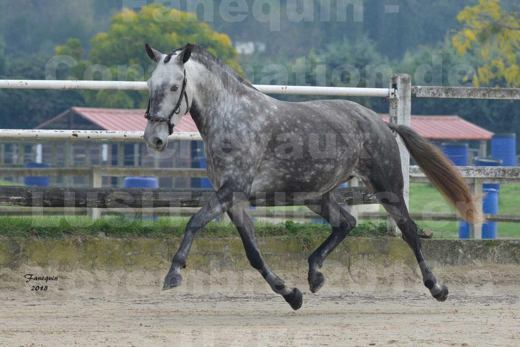 Confirmation de chevaux LUSITANIENS aux Haras d'UZES Novembre 2018 - JAVA DO REAL - 22