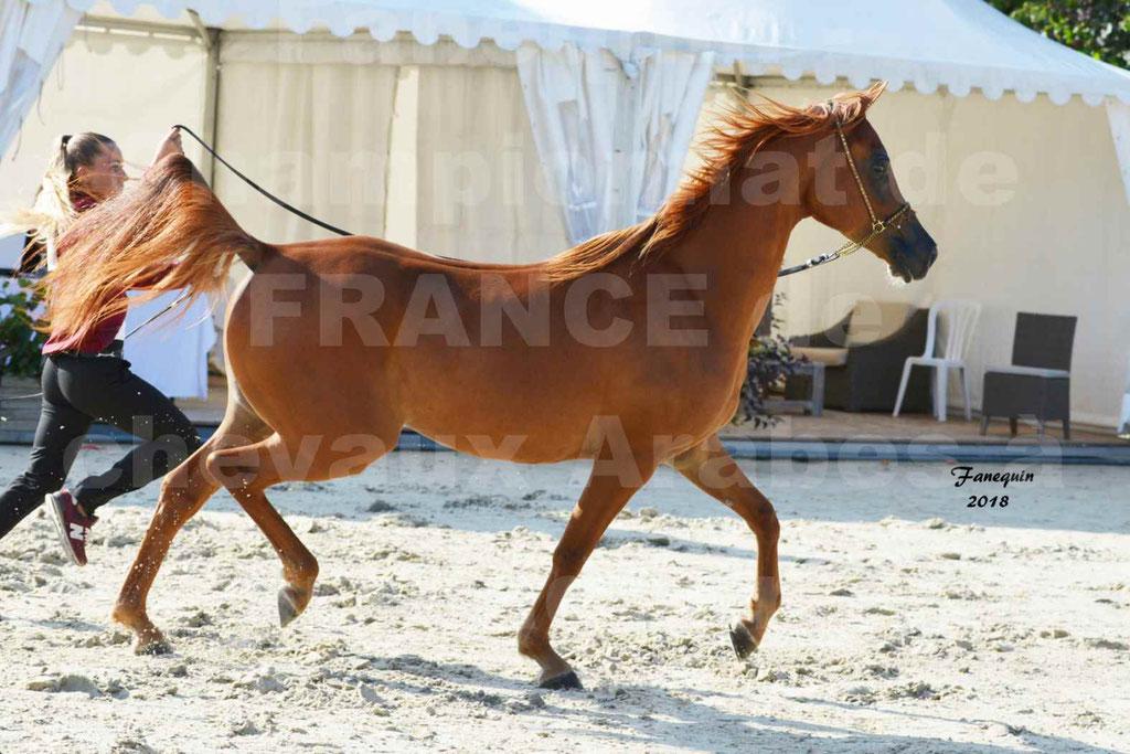 Championnat de FRANCE de chevaux Arabes à Pompadour 2018 - MAAMAR ISHANE - Notre Sélection - 07