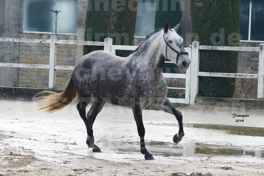 Confirmation de chevaux LUSITANIENS aux Haras d'UZES Novembre 2018 - JAVA DO REAL - 37
