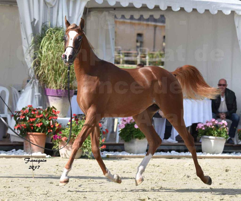 Championnat de France de Chevaux Arabes à Pompadour en 2017 - HAMASAT ALBIDAYER - 3