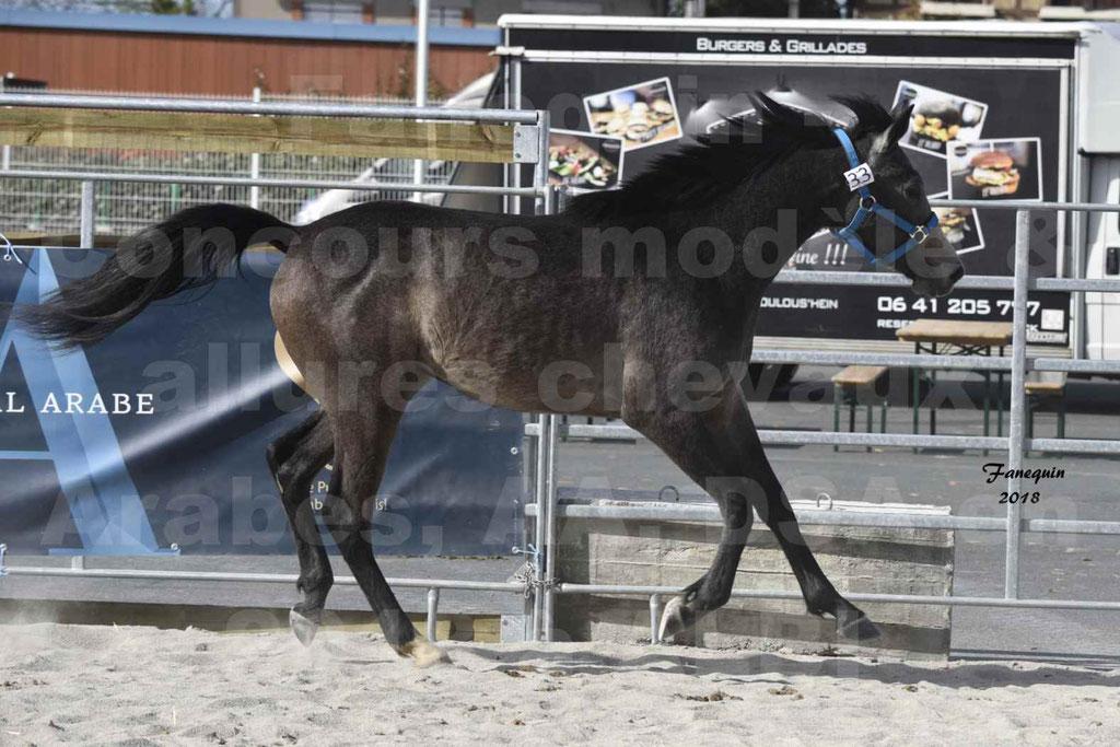 Concours d'élevage de Chevaux Arabes - Demi Sang Arabes - Anglo Arabes - ALBI les 6 & 7 Avril 2018 - BAZTAN - Notre Sélection - 3