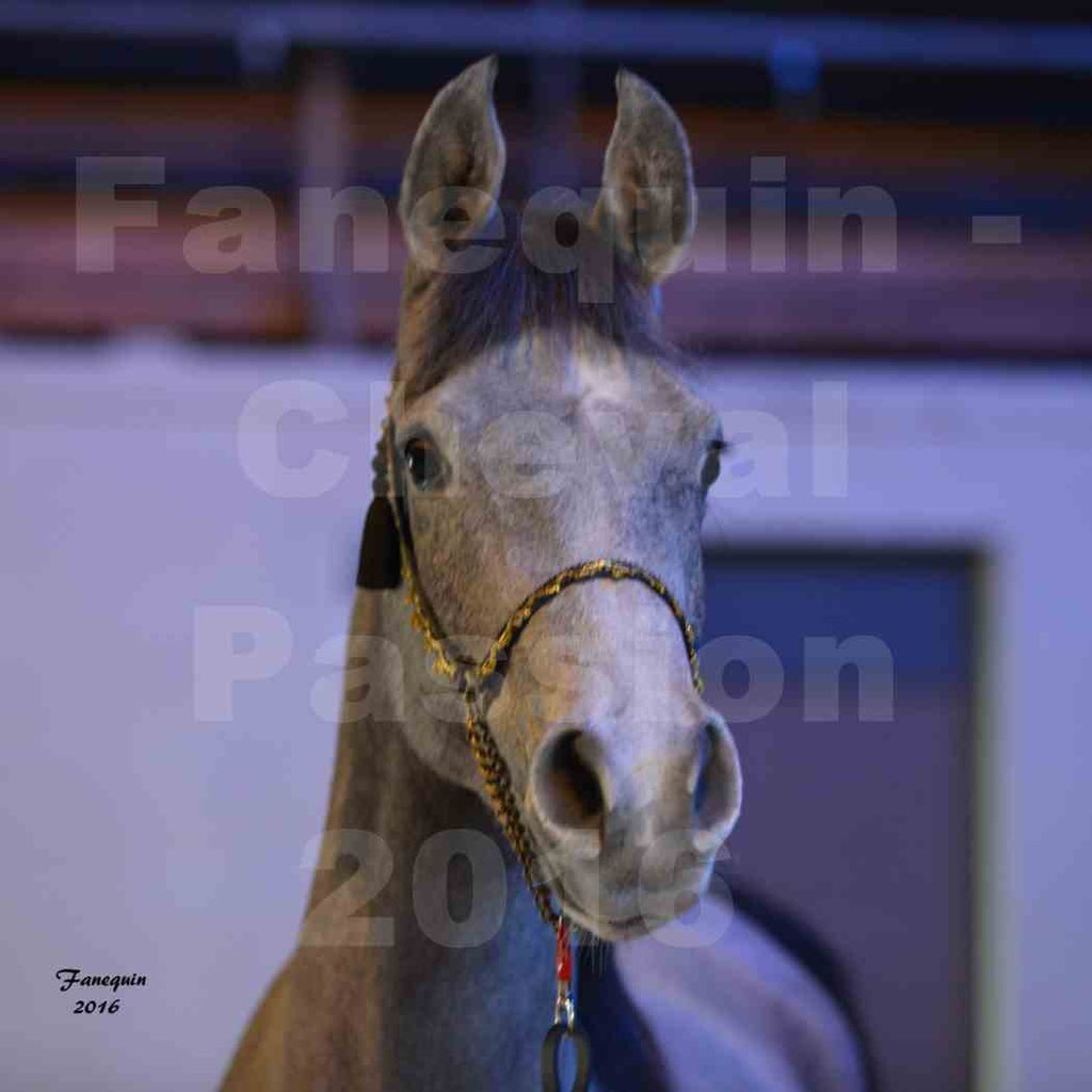 Cheval Passion 2016 - Portraits de Chevaux Arabes - 1