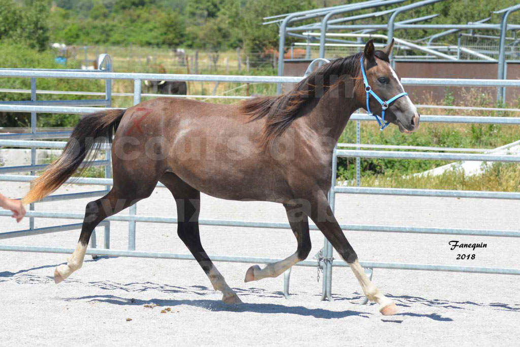 Concours d'Elevage de chevaux Arabes  le 27 juin 2018 à la BOISSIERE - GALICIA D'ALAUZE - 04
