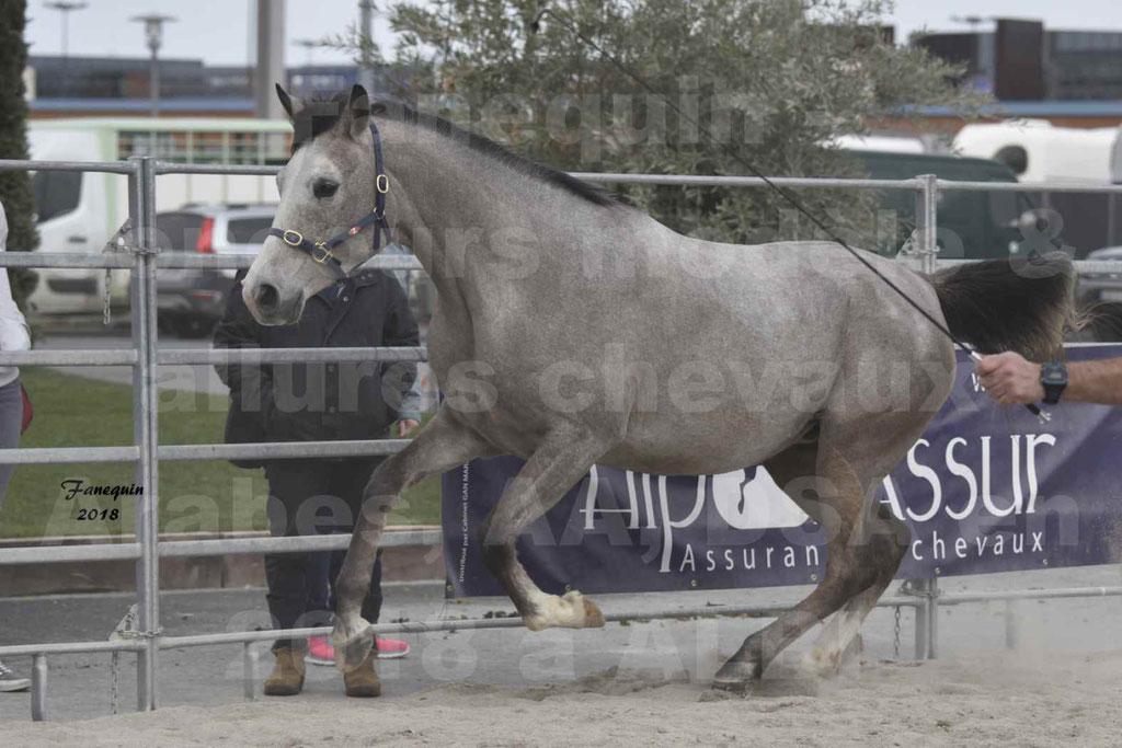 Concours d'élevage de Chevaux Arabes - Demi Sang Arabes - Anglo Arabes - ALBI les 6 & 7 Avril 2018 - FESIHAMKA ARTAGNAN - Notre Sélection - 27