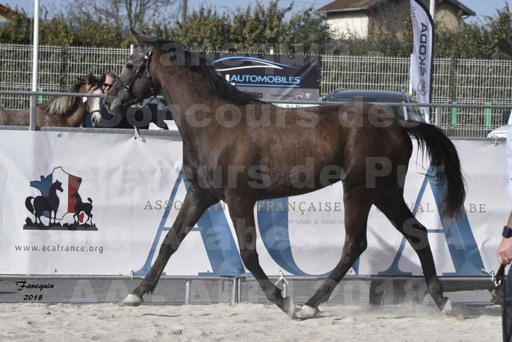 Concours d'élevage de Chevaux Arabes - Demi Sang Arabes - Anglo Arabes - ALBI les 6 & 7 Avril 2018 - GOUMRI DE L'AIGOUAL - Notre Sélection - 11