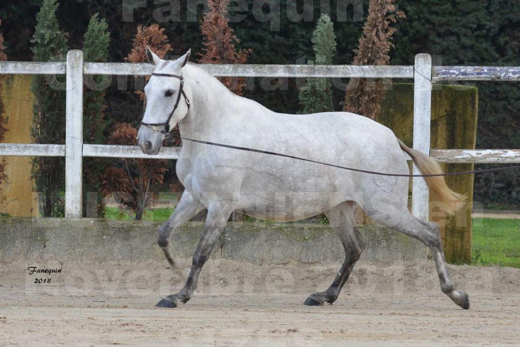 Confirmation de chevaux LUSITANIENS aux Haras d'UZES Novembre 2018 - DANAÏDE DU MOLE - 09