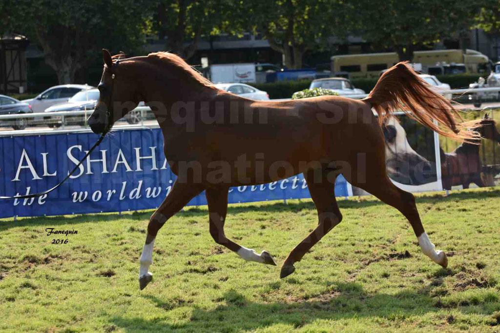 International Arabian Horse Show B de VICHY 2016 - DZHARI NUNKI - Notre Sélection - 27
