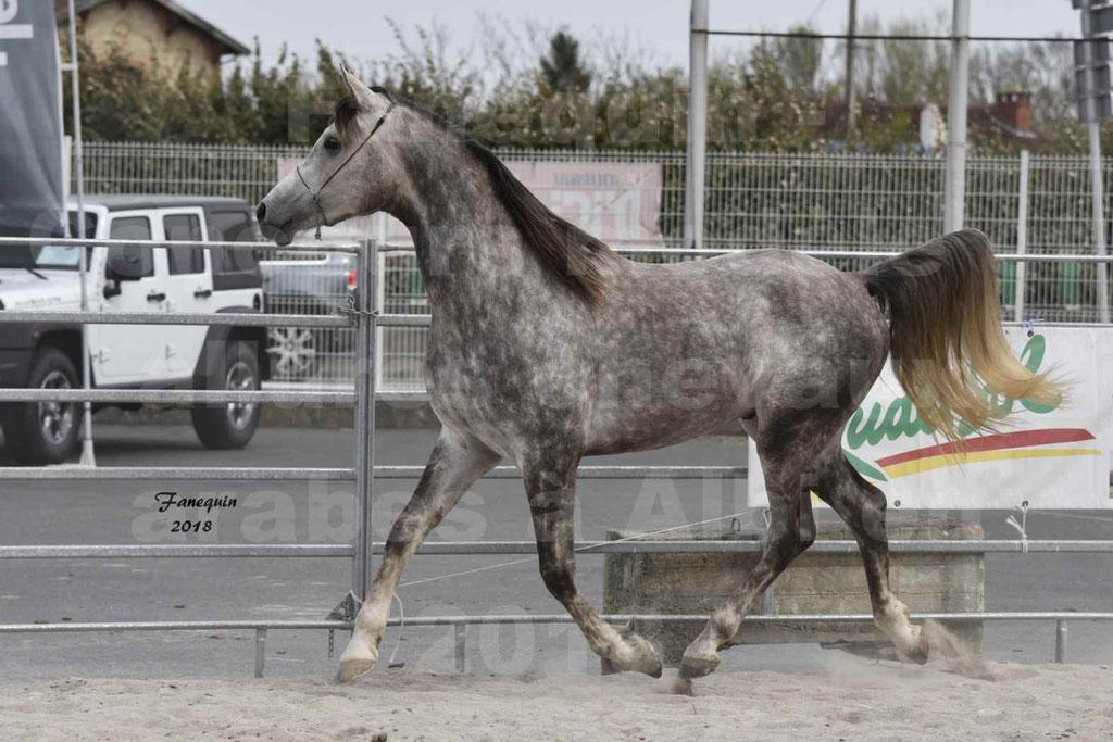 Concours d'élevage de Chevaux Arabes - Demi Sang Arabes - Anglo Arabes - ALBI les 6 & 7 Avril 2018 - PERCEVAL DE LAFON - Notre Sélection - 03
