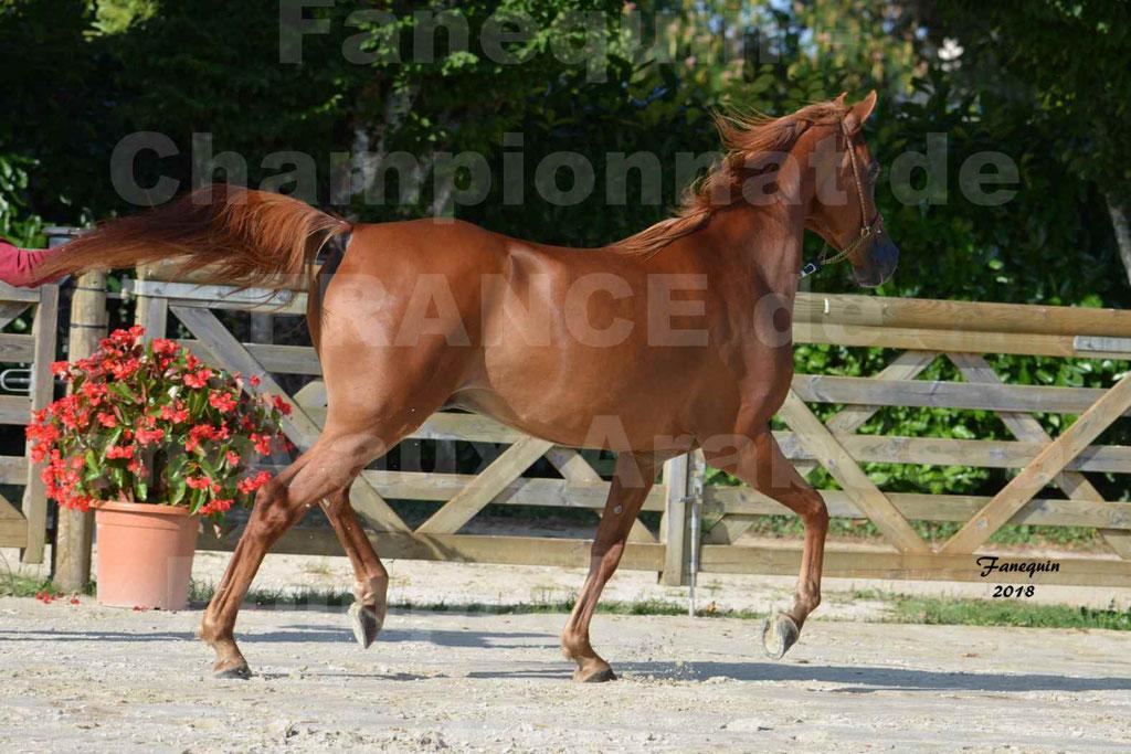 Championnat de FRANCE de chevaux Arabes à Pompadour 2018 - MAAMAR ISHANE - Notre Sélection - 13