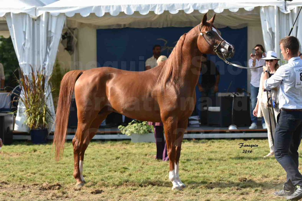International Arabian Horse Show B de VICHY 2016 - DZHARI NUNKI - Notre Sélection - 44
