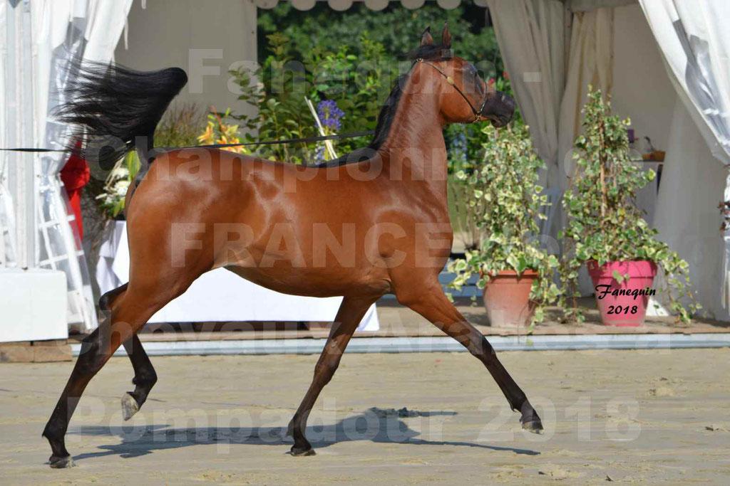 Championnat de FRANCE de chevaux Arabes à Pompadour en 2018 - BO AS ALEXANDRA - Notre Sélection - 23