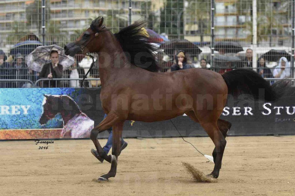 Championnat du Pur-Sang Arabe de la Méditerranée et des pays Arabes - MENTON 2016 - SULTANAT AL SHAQAB - C 046