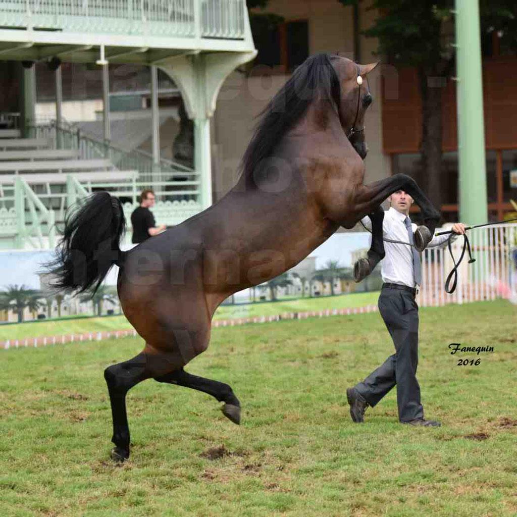 """International Arabian Horse Show B de VICHY 2016 - MILLIAR - Notre Sélection - """"Cabrages"""" - 3"""