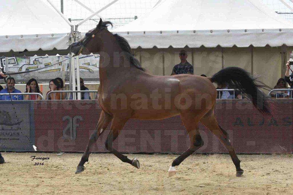 Championnat du Pur-Sang Arabe de la Méditerranée et des pays Arabes - MENTON 2016 - LUIGI - C 119